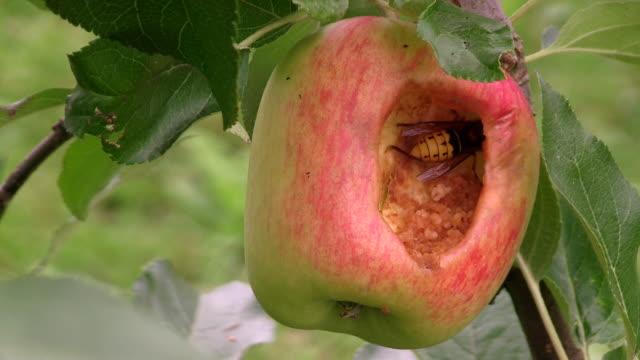 CU Hornet eating in apple / Serrig, Rhineland-Palatinate, Germany