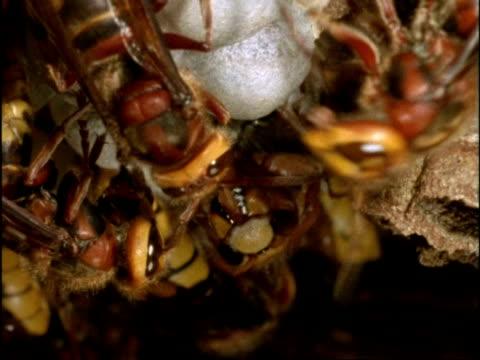 vidéos et rushes de bcu hornet (vespa crabro) emerging from cocoon, others gather round, england - vespa