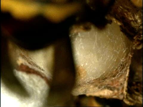 vidéos et rushes de bcu hornet (vespa crabro) larva spinning cocoon, england - vespa