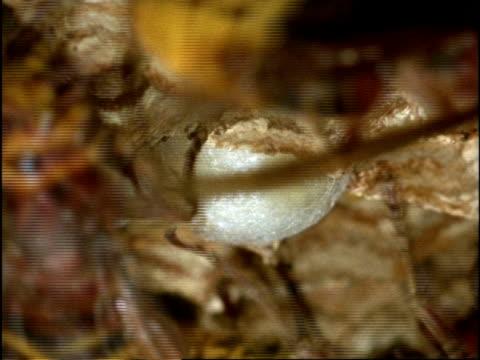 vidéos et rushes de bcu hornet (vespa crabro) larva spinning cocoon, while nurse-hornets move overhead, england - vespa