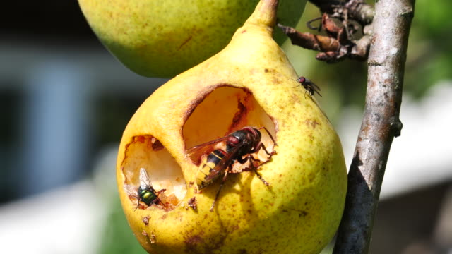 hornet makes a cave in a pear - pear stock videos & royalty-free footage
