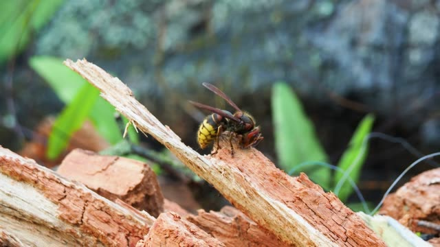 vidéos et rushes de hornet on old tree log - vespa