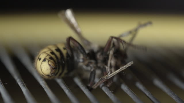 hornet with stinger out in slow motion - stinging stock videos & royalty-free footage