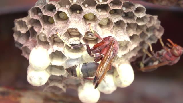 Hornet working on a hornet's nest