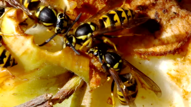 hornets on apple - stinging stock videos & royalty-free footage