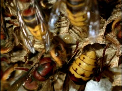 vidéos et rushes de bcu hornets (vespa crabro) tending to larvae in hexagonal cells of nest, england - vespa