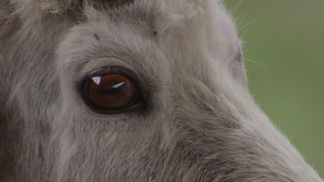 Horns and eyes of mountain goat (Oreamnos americanus), Glacier National Park, USA