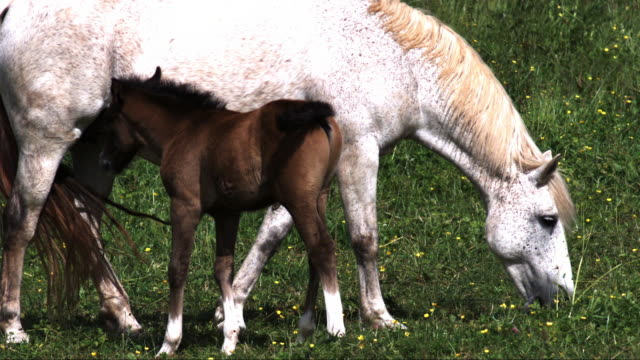 stockvideo's en b-roll-footage met slomo horse and foal move in to suckle - dierenfamilie