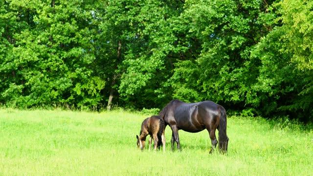 vídeos de stock e filmes b-roll de horse and foal on a pasture - two animals