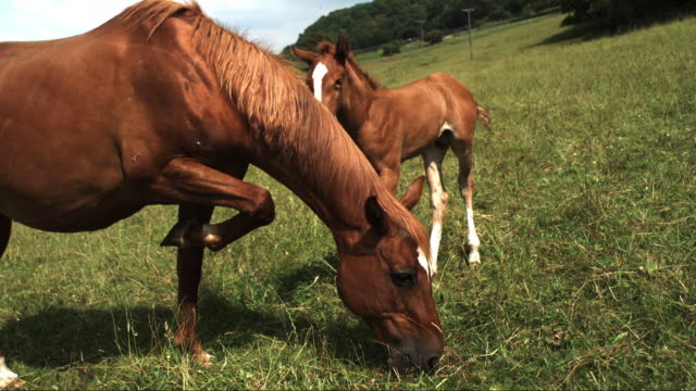 slomo ms horse and foal twitching and swishing tails to deter flies - grasen stock-videos und b-roll-filmmaterial