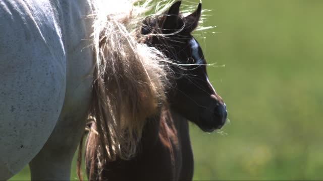 slomo cu horse and foal with tail swishing away flies - 子馬点の映像素材/bロール
