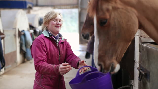MS Horse being fed by stable hand / Helland, Bodmin, Cornwall, United Kingdom