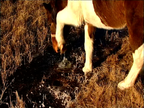 horse breaks ice with hoof and drinks water darhad valley mongolia - przewalskipferd stock-videos und b-roll-filmmaterial
