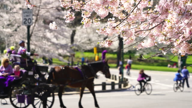 vidéos et rushes de horse carriage, bikes and people go through on the park road, which is surrounded by rows of cherry blossoms trees - voiture hippomobile