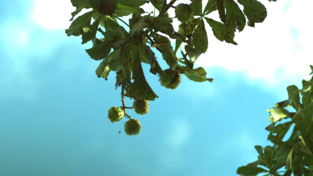 horse chestnut conkers falling from tree - seed stock videos & royalty-free footage