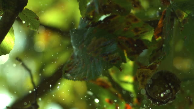 horse chestnut in case falls, water drops fall from leaves - pflanzensamen stock-videos und b-roll-filmmaterial