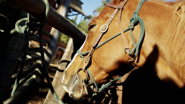 horse corralled on dude ranch canadian rockies bc - bridle stock videos & royalty-free footage