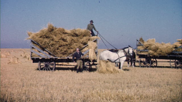 ms horse drawn wagons being loaded with hay - arbetsdjur bildbanksvideor och videomaterial från bakom kulisserna