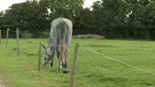 horse eating grass along fence - hoof stock videos & royalty-free footage