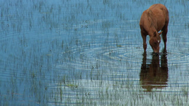 ms horse eating grass in flooded field/ browning, montana - animal markings stock videos & royalty-free footage