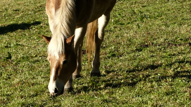 stockvideo's en b-roll-footage met paard eet gras in de weide - foerageren
