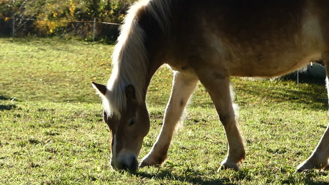 horse eating grass in meadow - breeder stock videos and b-roll footage