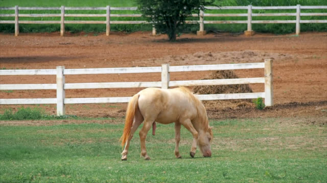 horse eating grass on the field - stallion stock videos & royalty-free footage