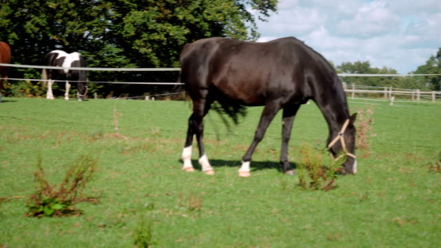 horse eating in slow motion - tierfarbe stock-videos und b-roll-filmmaterial
