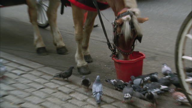 MS TU TD Horse Eating Out Of Bucket With Many Pigeons On Ground Eating Spilled Feed / New York City, New York, USA