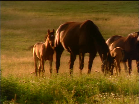 horse family grazing in field - piccolo gruppo di animali video stock e b–roll