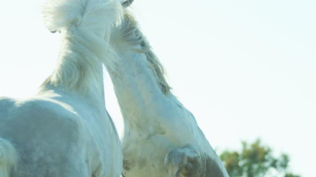 horse france camargue animal wildlife grey stallion gelding - stallion stock videos & royalty-free footage