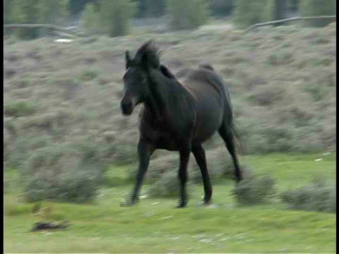 CU, Horse galloping in field towards camera, Wyoming, USA
