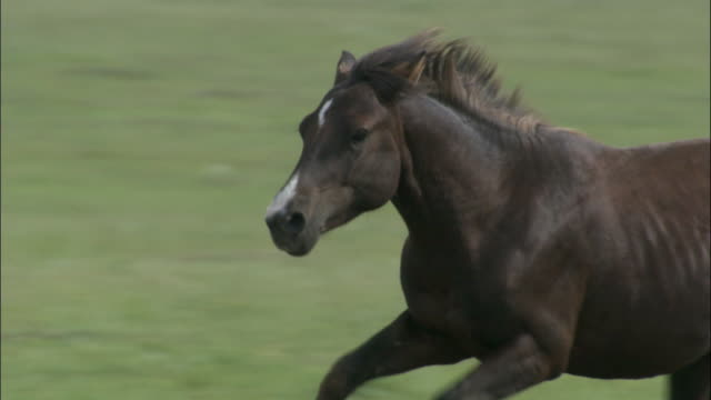horse gallops across steppe, inner mongolia, china - horse stock videos & royalty-free footage