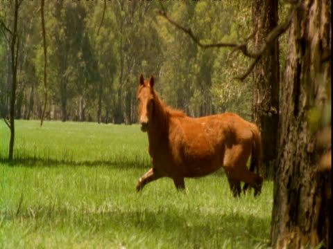 horse gallops away through flooded forest, victoria, australia - galopp gangart von tieren stock-videos und b-roll-filmmaterial