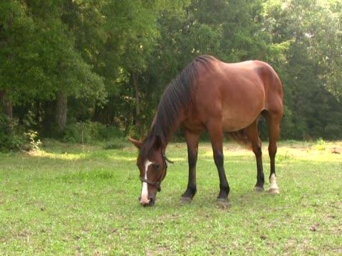 pferd beim grasen 2 pal - zaum stock-videos und b-roll-filmmaterial
