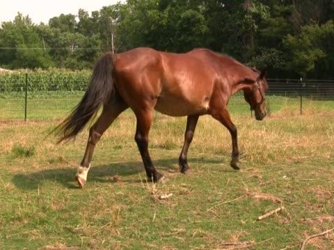 pferd beim grasen 3 pal - zaum stock-videos und b-roll-filmmaterial