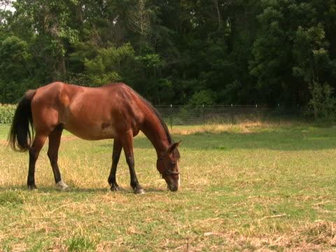 pferd beim grasen 4 ntsc - zaum stock-videos und b-roll-filmmaterial