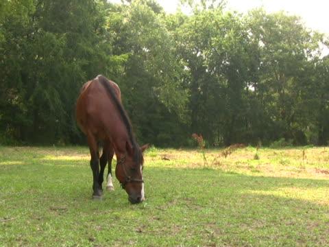 pferd beim grasen 5 ntsc - zaum stock-videos und b-roll-filmmaterial