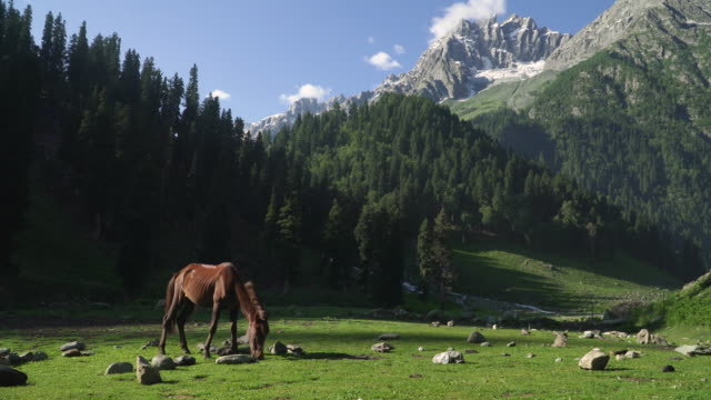 horse grazing at green landscape - pine stock videos & royalty-free footage