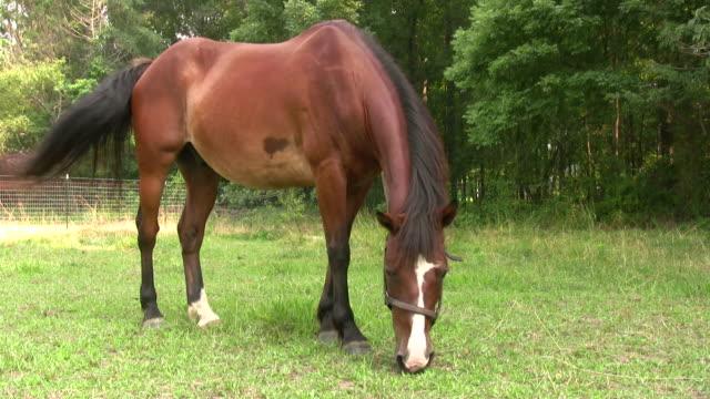 Horse pastoreo de alta definición