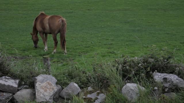 ws ld horse grazing in field / ireland - arbetsdjur bildbanksvideor och videomaterial från bakom kulisserna