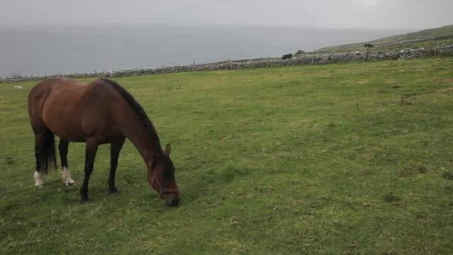 ws ld horse grazing in field near sea / ireland - arbetsdjur bildbanksvideor och videomaterial från bakom kulisserna