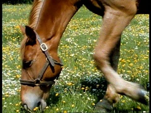 cu horse grazing in meadow, uk - zaum stock-videos und b-roll-filmmaterial