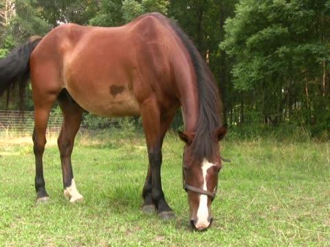 pferd beim grasen pal - zaum stock-videos und b-roll-filmmaterial