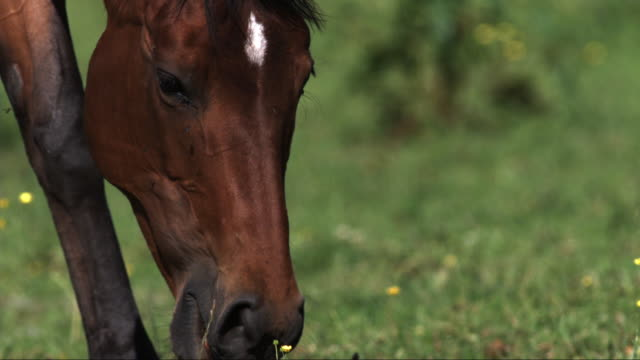 slomo cu horse grazing with flies around its eyes - 20 seconds or greater stock videos & royalty-free footage