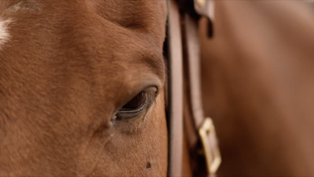 horse head and eye with fly close-up - steve munro stock videos & royalty-free footage