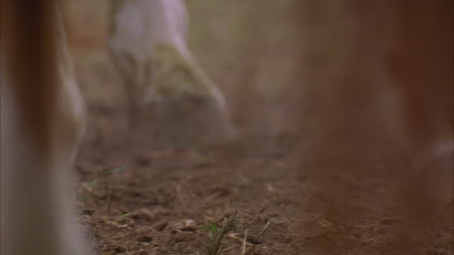 vidéos et rushes de a horse hooves kicking up dirt. - sabot