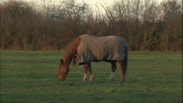a horse in a blanket grazes in a field. - horse blanket stock videos & royalty-free footage
