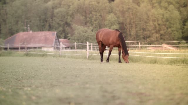 horse on meadow - pascolare video stock e b–roll