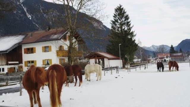 Horse Raising in Weissenbach am Lech